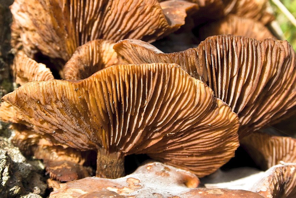 Honey Fungus Armillaria sp.. Lane to lighthouse, Sark, British Channel Islands - 1004-430