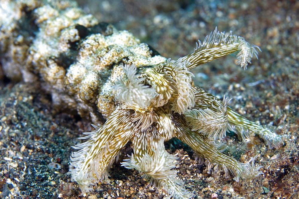 Feeding tentacles of Sea Cucumber  Synapta maculata
