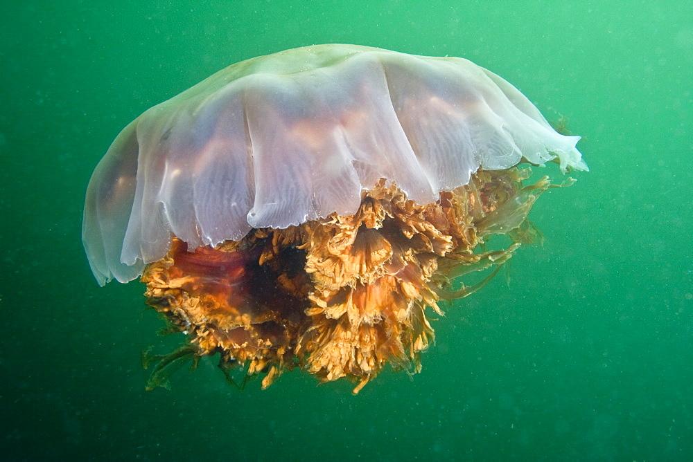 Lion's Mane Jellyfish Cyanea capillata - 1004-549