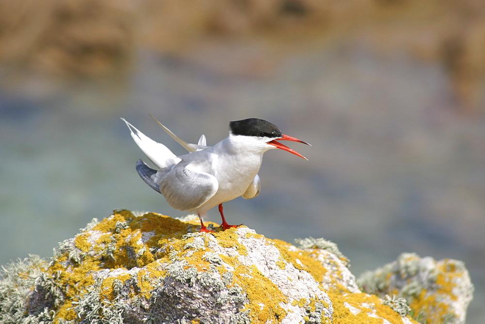 Common tern (Sterna hirundo) displaying. UK   (RR) - 1004-559
