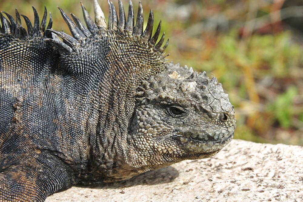 Marine iguana on roadside. Galapagos.   (RR)