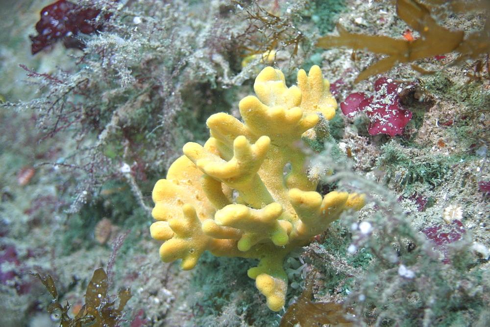 Hard coral, UK   (RR)
