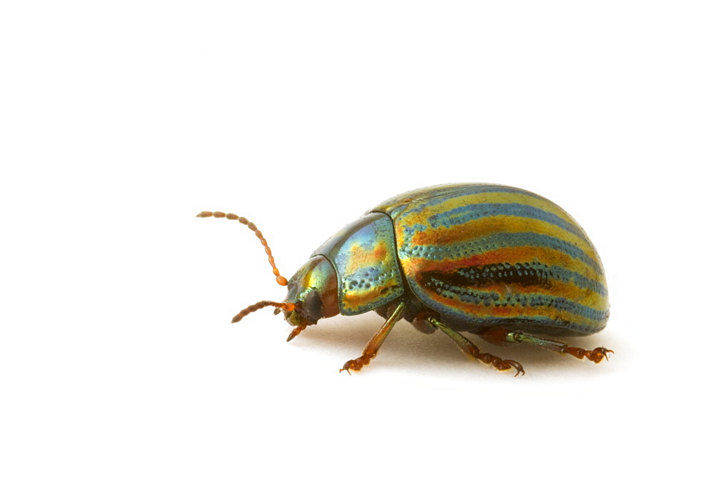Studio shot of a Rosemary Leaf Beetle (Chrysolina americana). - 1005-107