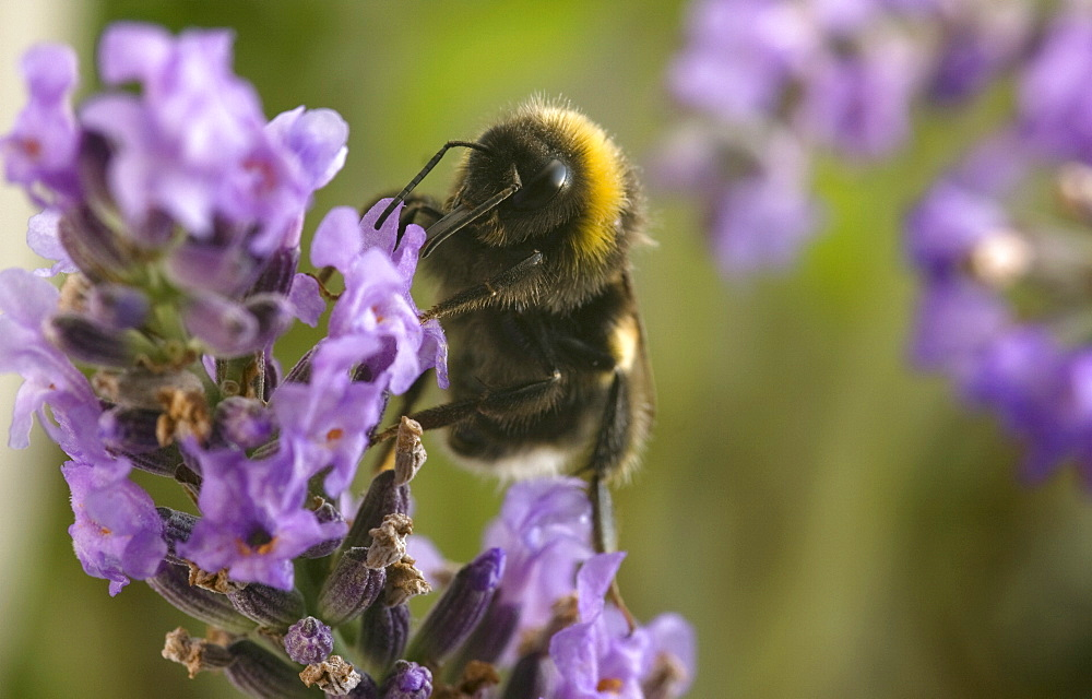 A Bumblebee (Bombus Terrestris) collects pollen and nectar from Lavender flowers, UK. - 1005-11