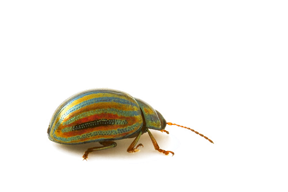 Studio shot of a Rosemary Leaf Beetle (Chrysolina americana). - 1005-110