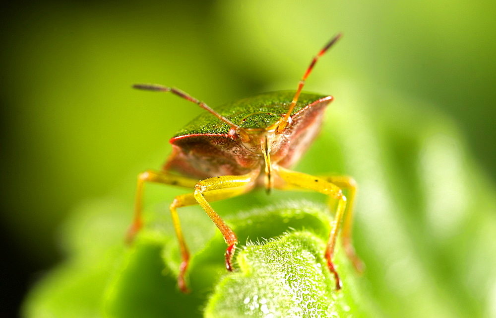Shield Bug (Nezara Viridula), UK. - 1005-122