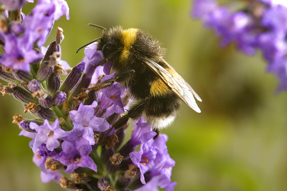 A Bumblebee (Bombus Terrestris) collects pollen and nectar from Lavender flowers, UK. - 1005-13