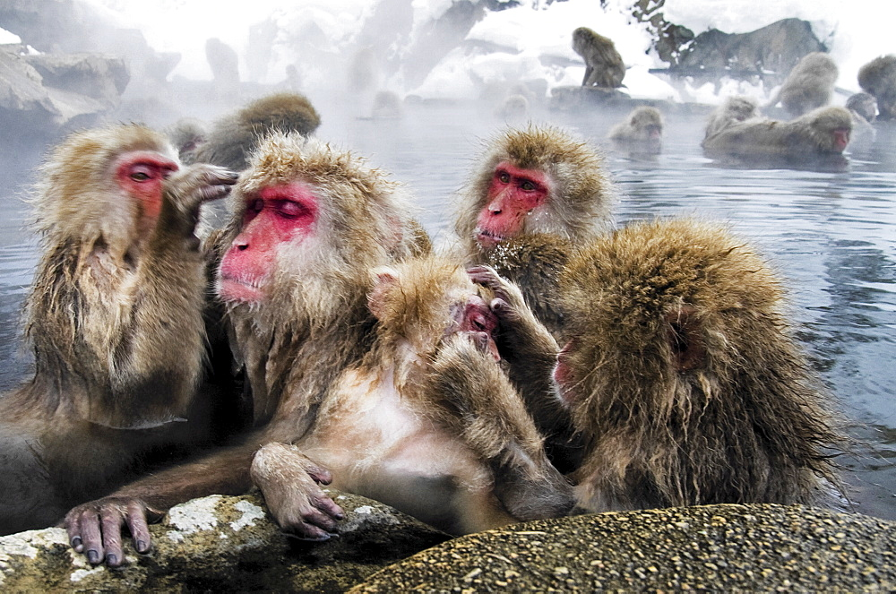Snow monkey (macaca fuscata) bathes in a hot spring, Jigokudani National Park, Japan - 1005-134