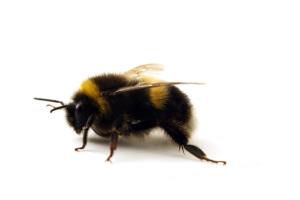 Studio shot of a Bumble Bee (Bombus Terrestris) - 1005-16