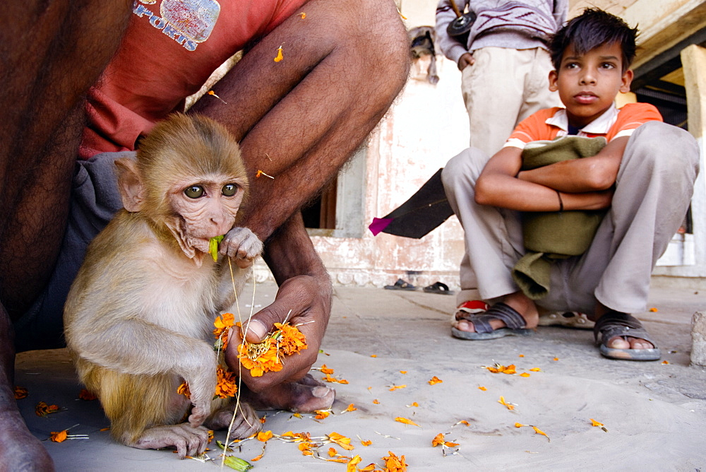 A baby Rhesus Monkey sits outside a temple eating flowers offered by pilgrims as a young boy looks on, Varanasi, India - 1005-4