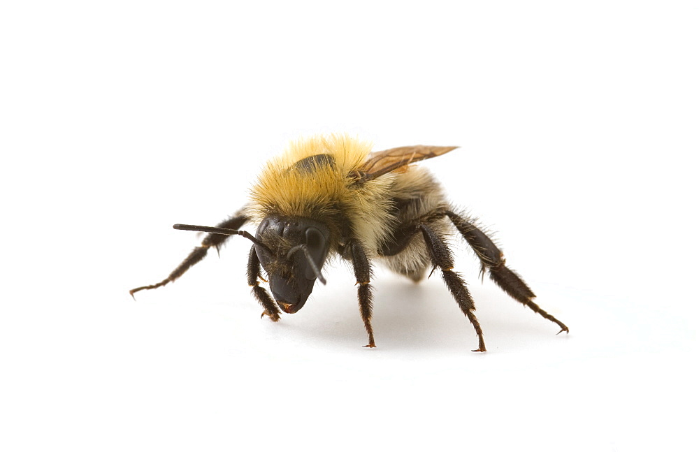 Studio shot of a Honey Bee (Apis Mellifera).  - 1005-66