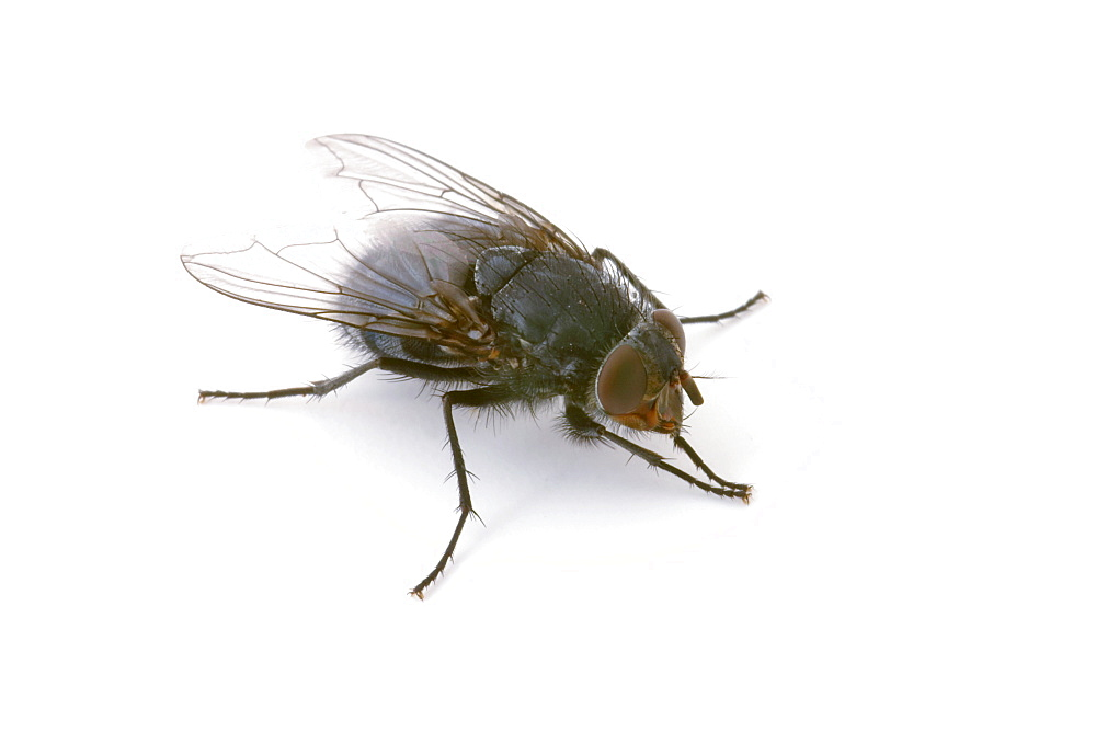 Studio shot of a House Fly (Musca domestica) - 1005-68