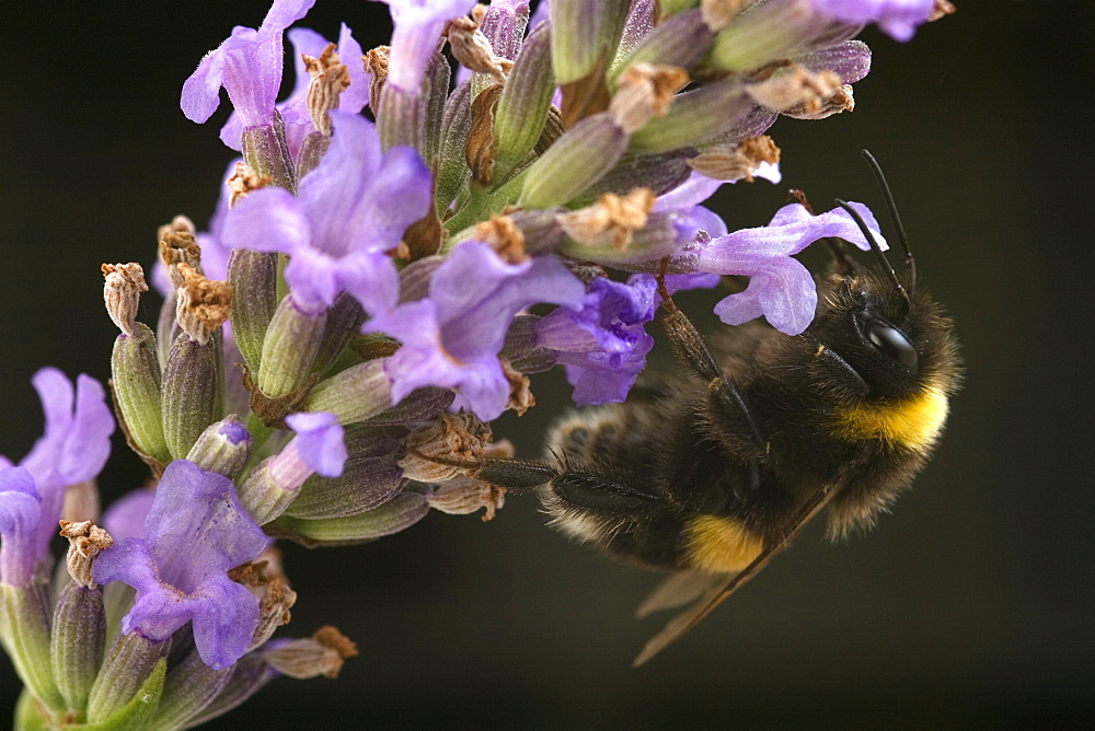 A Bumblebee (Bombus Terrestris) collects pollen and nectar from Lavender flowers, UK. - 1005-8