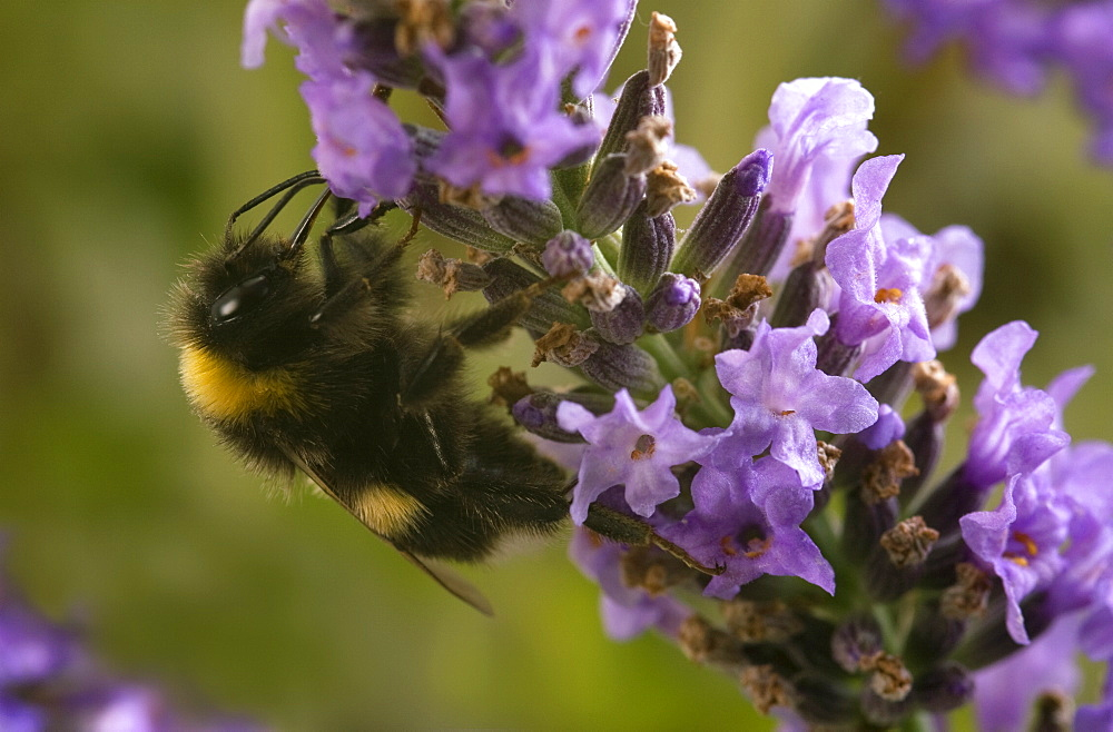 A Bumblebee (Bombus Terrestris) collects pollen and nectar from Lavender flowers, UK. - 1005-9