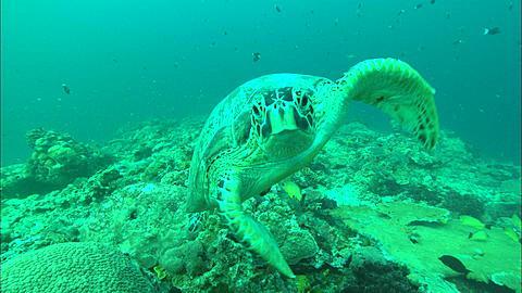 Green turtle, looks into camera. Borneo, Malaysia, Southeast Asia