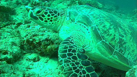 Green turtle on reef, Borneo, Malaysia, Southeast Asia