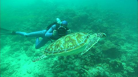 Diver filming Green turtle, Borneo, Malaysia, Southeast Asia