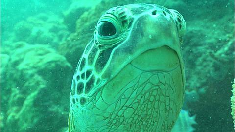 Green turtle close up Borneo, Malaysia, Southeast Asia