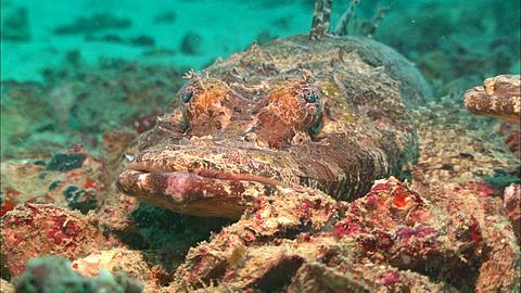 Crocodile fish, lip shot, Pull reveals two fish. Borneo, Malaysia, Southeast Asia