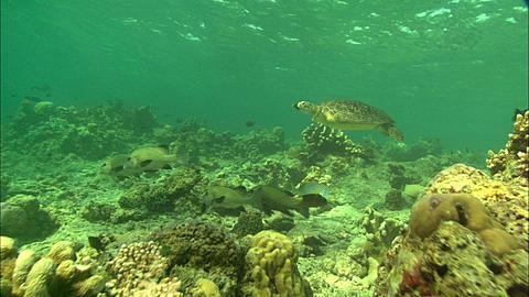 Green Sea Turtle, Borneo, Malaysia, Southeast Asia