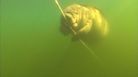 Manatee playing and scratching anchor rope. Crystal River, Florida, USA  - 1010-1158