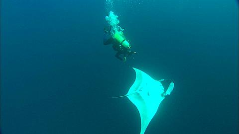 Scientist Diver taking skin sample from Manta, with two Remora, Mexico