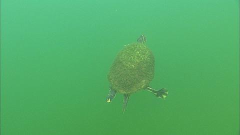 Turtle swim away to surface breathes,  Florida, North Atlantic Ocean