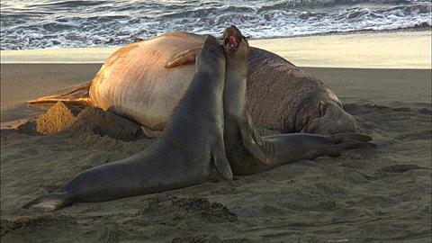 Northern elephant seal bull (Mirounga angustirostris), juveniles fight in front of massive bull.  San Simeon, California