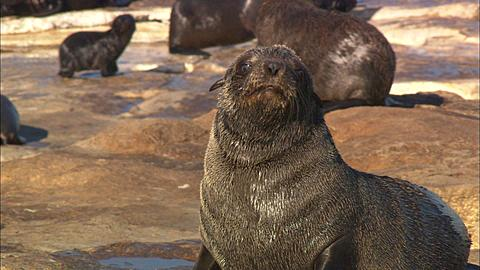 Cape Fur Seals, Seal Island, Pup, Simonstown, South Africa