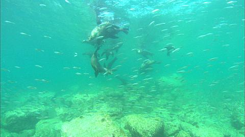 Sea Lions, large school small fish, point of view. Mexico