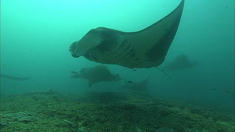 Mantas, many hovering at clean station, Mozambique