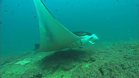 Manta at clean station, circles back to camera, Mozambique