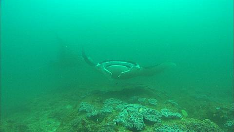 Mantas at clean station, three rotate over camera, Mozambique