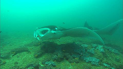Mantas, mouth open at clean station, Mozambique