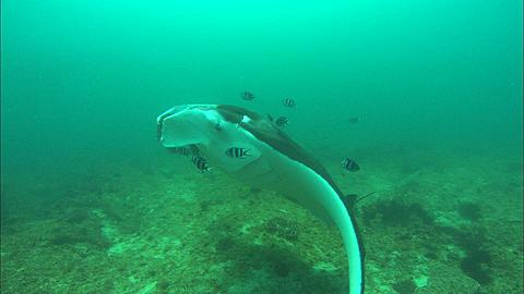 Manta, clean station, lots small fish action, Mozambique