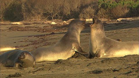 Northern elephant seal bull (Mirounga angustirostris), juvenile males spar.  San Simeon, California