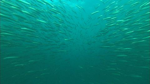 Sardine Run, Sardines, into school fish, dolphins, South Africa