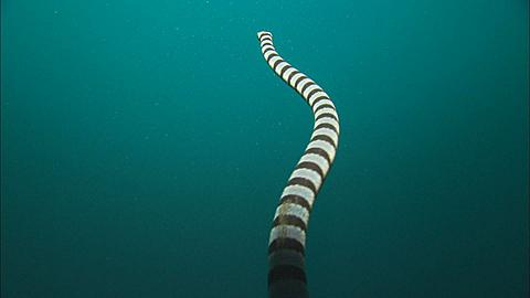 Sea snake, swims to surface, close up, Indonesia  - 1010-1999