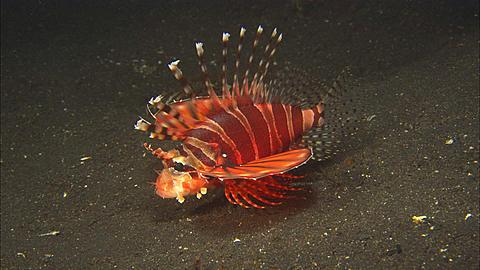 Lionfish Zebra resting push close up. Indonesia