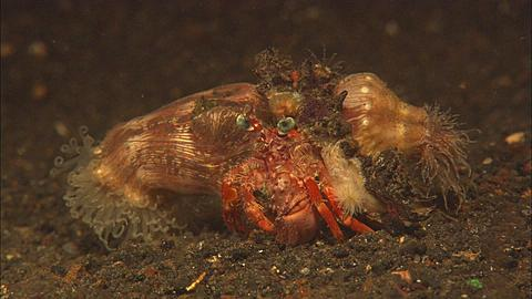 Hermit Crab with shell with two anemones on either side, walks away, Indonesia