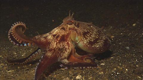 Octopus, hunting moves holding two front arms coiled in front, Indonesia