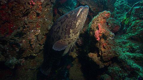 Potato grouper (Epinephelus tukula), out of crevasse, two Cod pass by, Mozambique