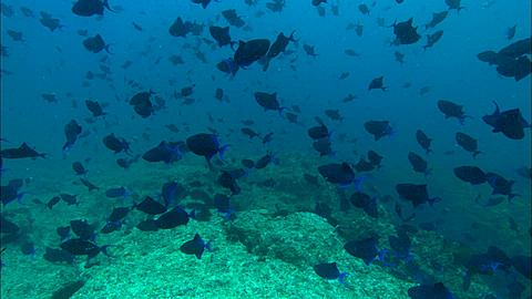 Surgeonfish, blue, school above reef. Mozambique