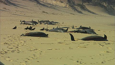 Dead dolphins on beach, line of animals with scavenger birds, two, Mozambique