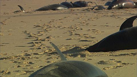 Dead dolphins on beach, sand crabs, looking down beach, line of animals, static two. Mozambique