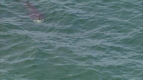Aerial, Coll, Scotland, Basking sharks, two sharks in frame, Scotland, UK