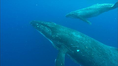 Whales, Humpback, mother and calf, very young, can't dive properly yet. Mother supports at surface.. Tonga, South Pacific Ocean