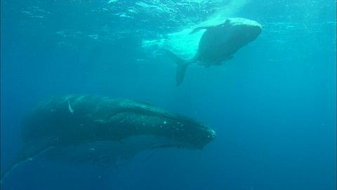 Whales, Humpback, mother and calf, calf at surface belly up over mother, pass by camera Tonga, South Pacific Ocean