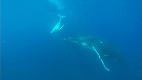 Whales, Humpback, mother and calf, calf dives to mother, swims over body Tonga, South Pacific Ocean