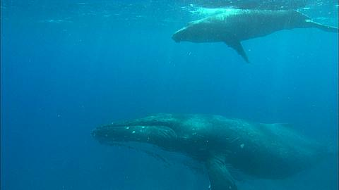 Whales, Humpback, mother and calf, over reef bottom to camera, pass by, away, turn, Tonga, South Pacific Ocean